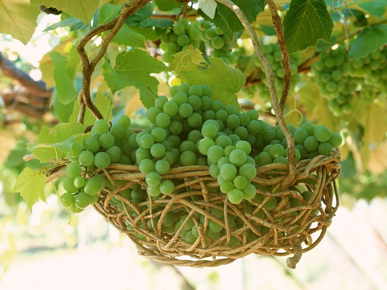 Fresh juice and fruits in hd photos cute babies photos collection - Round Green Grapes