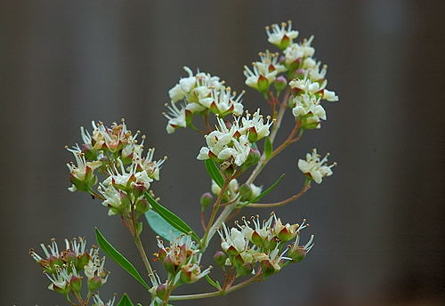 10 benefits of evergreen plant 'Henna'