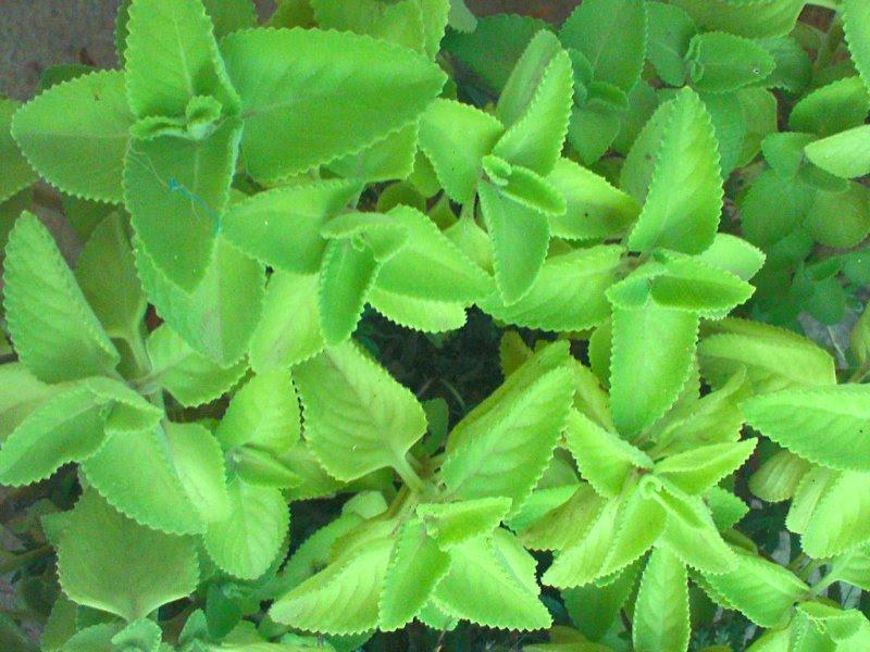 how to grow ajwain plant from seed
