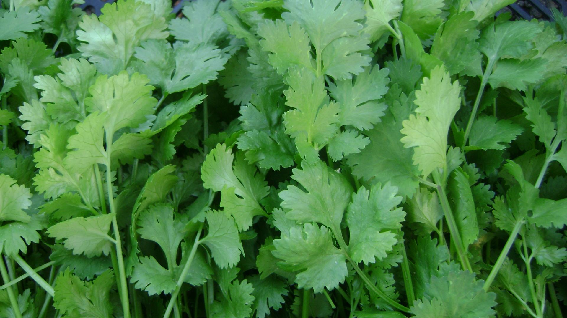 Top 15 Health Benefits Of Coriander Herb