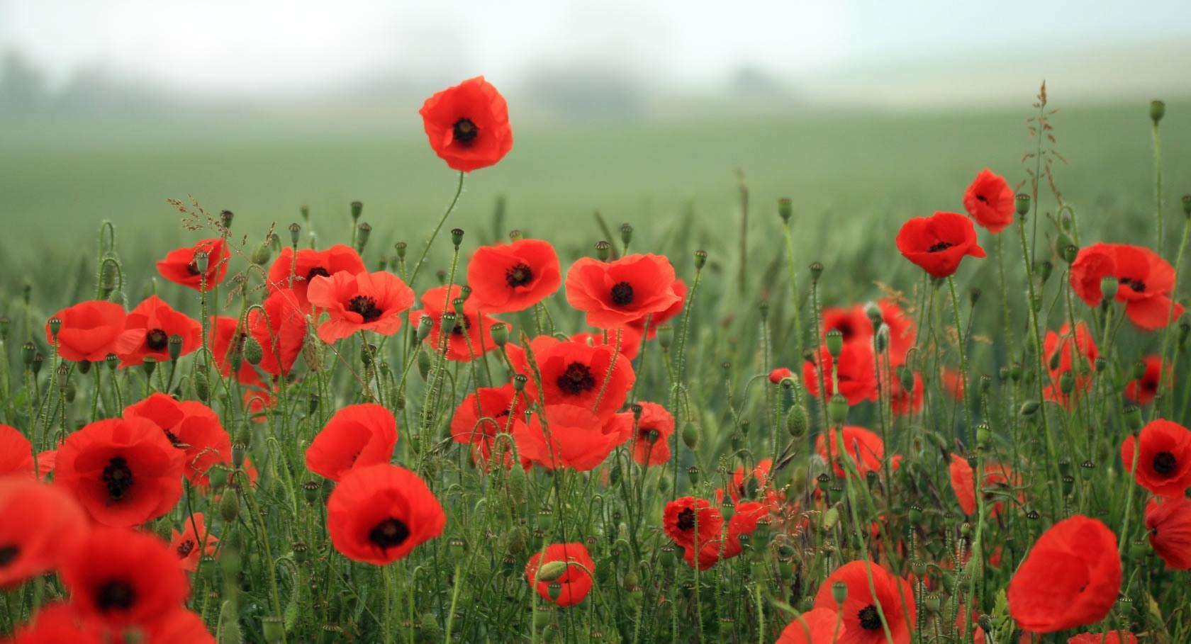 10 Health Benefits Of Poppy