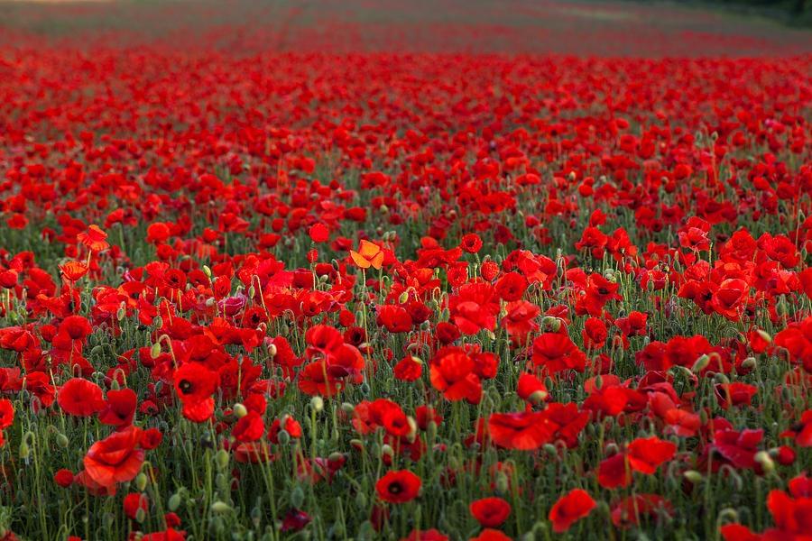 Poppy seed flower in hindi best flower 2017 opium poppy seeds benefits research dose side effects mightylinksfo