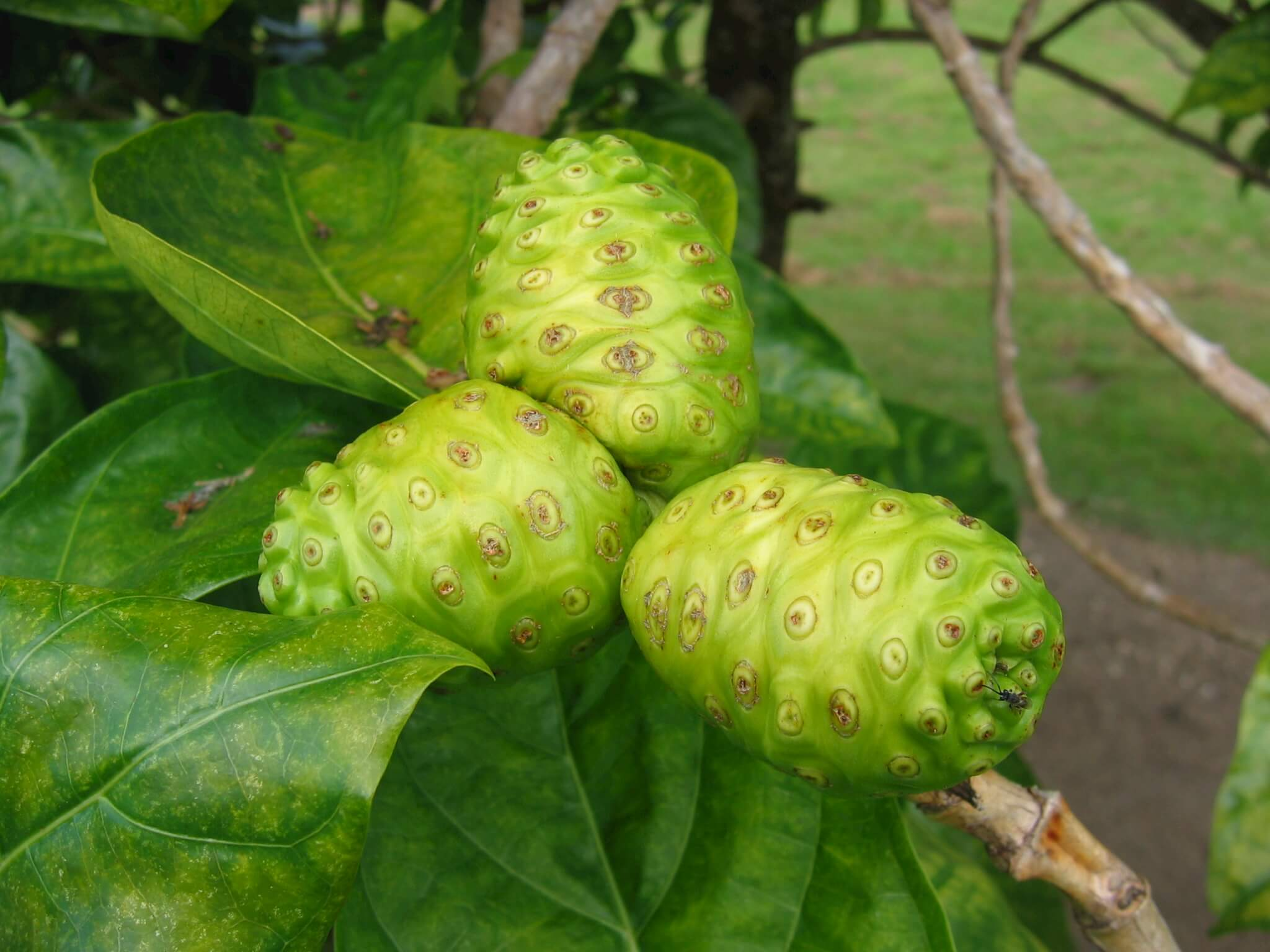 lima fruit noni fruit