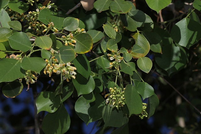 dalbergia sissoo tree